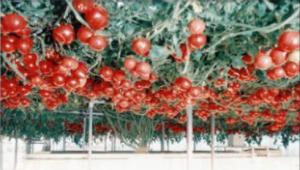ハイポニカのトマト